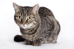 Cat, European Domestic Stock Photography