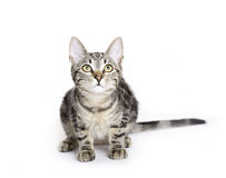 Cat, European Domestic Cat kitten Royalty Free Stock Image