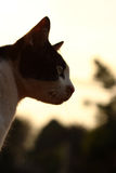 Cat in evening light Royalty Free Stock Photo