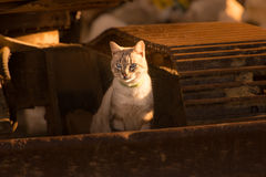Cat in evening sun. Beautiful cat with blue eyes in the evening sun stock photography