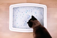 Cat examines kitty litter box with silicate litter Royalty Free Stock Photography