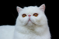 Cat Exotic Copper Eyed White. Head shot of White Copper-eyed Exotic adult cat against black velvet background royalty free stock photo