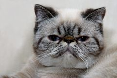 Cat Exotic Shorthair Stock Photo