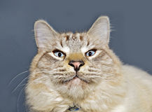 Cat Expression observada azul Imágenes de archivo libres de regalías