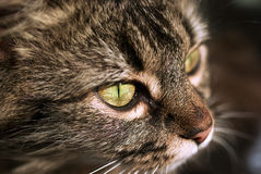 Cat eye. Cat's green eye closeup, brown swedish cat Royalty Free Stock Photography