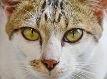 Cat Eye Fotografia Stock Libera da Diritti