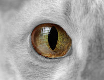 Cat Eye Close-Up Royaltyfri Bild
