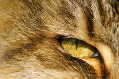Cat eye close up. Close-up shot of a Tortoise-shell cats eyes showing high detail in the eye itself tabby Royalty Free Stock Photo