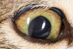 Cat eye. close-up. Photos in the studio Royalty Free Stock Photo