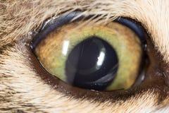 Cat eye. close-up Royalty Free Stock Photo