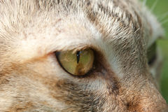 Cat eye closeup. Looking someting Stock Photography