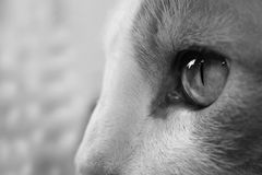 Cat Eye. Foreground male cat eye, angry Royalty Free Stock Image