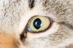 Cat Eye Närbild fotografering för bildbyråer
