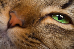 Cat eye and nose closeup. Cat green eye and nose macro shot Royalty Free Stock Image
