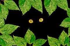 Cat Eye sauvage et beaucoup feuille verte sur le noir Image libre de droits
