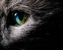 Cat eye. Strange cat eye close up, Blue Russian cat royalty free stock photo