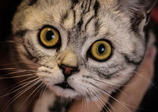 British shorthair silver tabby cat face Royalty Free Stock Images