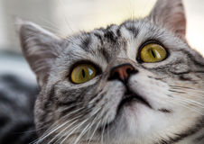 British shorthair silver tabby Royalty Free Stock Photo