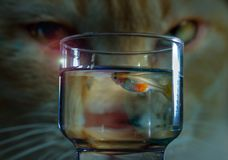 Cat eyeing guppy as Sashimi for dinner. Cat eyeing guppy in a glass as Sashimi for dinner stock photo