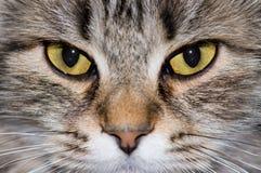 Cat eyes. Beautiful face of cat closeup Stock Photos