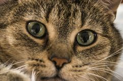 Cat Eyes Fotografia de Stock Royalty Free
