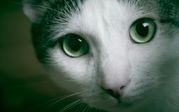 Cat eyes. Powerful look of feline eyes, a pair of inquisitive cat eyes staring at the camera stock images