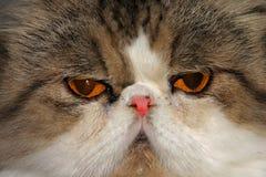 Cat eyes. Close up of a cat face Royalty Free Stock Photos