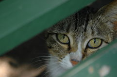 Cat eyes. Two beautiful eyes of a grey tiger cat sitting underneath a bench watching through the green wooden laths (focus on cat's eyes royalty free stock image