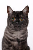 Cat with eyes Royalty Free Stock Images
