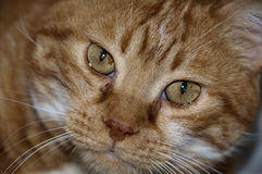 Cat Eyes. An orange cat face close up Royalty Free Stock Photo