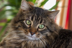 Cat Eyes. A head shot of a cat with green eyes Royalty Free Stock Photos