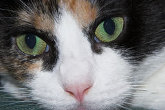 Cat Eyes. Close up of cat face Royalty Free Stock Photo
