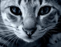 Cat eyes. Cat with deep blue eyes close up Stock Photos
