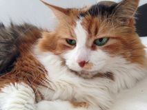 Cat eyes. Aqua eyes, sleeping beauty Stock Image