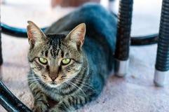 Cat eyes. Beautiful grey brown cat relaxing Stock Images