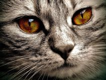 Cat, Eyes, Bernstein, Domestic Cat Stock Images