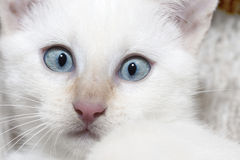 Cat eyes. Big blue eyes and a nose of white cat Royalty Free Stock Photography
