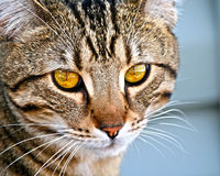 Cat Eyes Royalty Free Stock Images