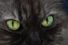 Cat Eyes. A close up photo taken on the eyes of a black Persian cat Royalty Free Stock Photos