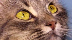 Cat eyes stock video footage