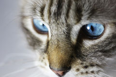Cat eyes closeup Royalty Free Stock Image