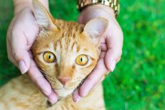 Cat eyes with female hands on lawn using wallpapers or background for animals work Royalty Free Stock Images