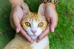 Cat eyes with female hands on lawn using wallpapers or background for animals work Royalty Free Stock Photos