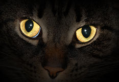 Cat eyes glowing in the dark. Bright yellow eyes of a house cat in the dark stock images