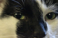 Cat eyes. Image   with  muzzle black and white cat Stock Photography