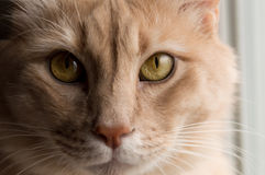Cat eyes. Orange cat with green eyes. up close portrait with natural light Royalty Free Stock Photo