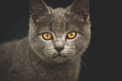 Cat  scottish  straight Royalty Free Stock Photo