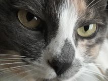 Cat Eyes Stare verde severo poderosa, suiças, retrato multicolorido do close up da pele Imagens de Stock