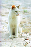 Cat eyes stare. A white cat look with fierce eyes stock image