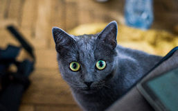 Cat Eyes Staring at You. A perfectly grey cat staring at the camera with its beautiful eyes Stock Photos